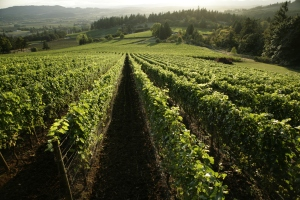 Bryan Creek Vineyard in the nothern Willamette Valley, Oregon