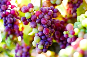 Beautiful grapes from Balletto Vineyards
