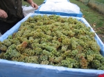 Chardonnay Grape Harvest