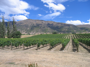 Shanagolden vineyard, Waitiri Creek